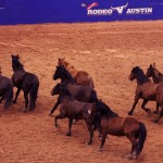 Running of wild mustangs