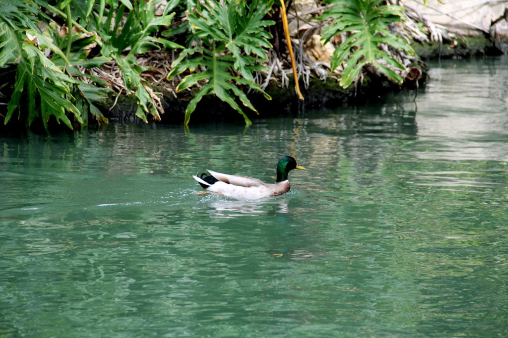 Green duck, green river, green plants