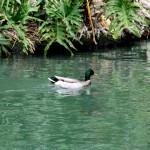 Green duck, green river, green plants
